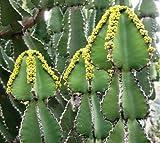 Euphorbia cooperii - Euphorbia - 10 Samen