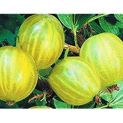 Stachelbeere - Ribes uva-crispa - Reverta - frühreifend und robust