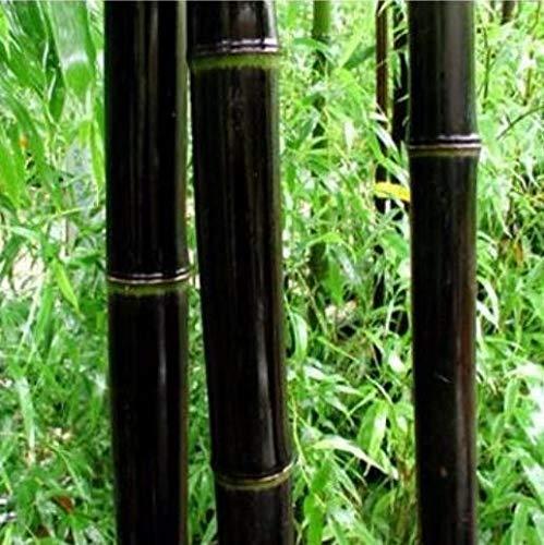 Pinkdose 100 PCS Bamboo Phyllostachys Pubescens Rare Bonsaï En Bambou Géant Bambusa Lako Arbre Pour La Maison Jardin Plant: 1