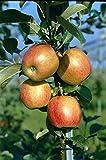 Fruchtbengel, Apfelbaum Santana, Malus domestica, süß-säuerlich, Allergikerapfel, groß