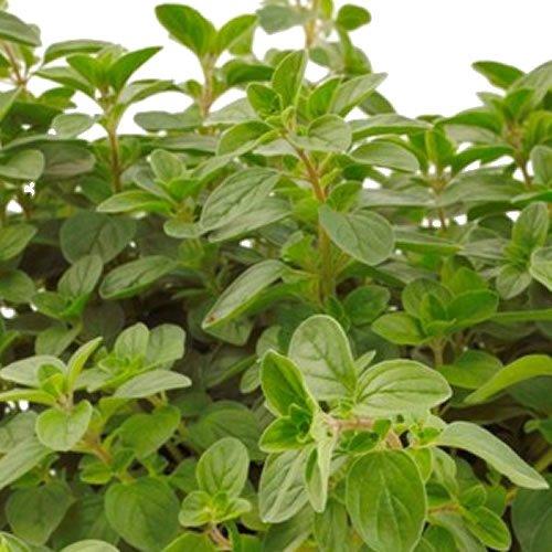 6-oregano-supreme-established-starter-plants