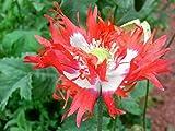 Papavero da oppio 'bandiera danese', papavero semi di papavero - semi