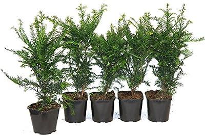 10 Stück Taxus baccata Heckenpflanze Eibe 25-30cm von Pflanzen-Versand bei Du und dein Garten