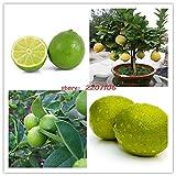 Pinkdose 50pcs / bag Bonsais, Kalk Bonsais, (Citrus aurantifolia), Bio-Obst Bonsais, Obst BONSAIS Zitronenbaum für den Garten zu Hause