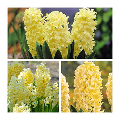 Humphreys Garden Hyacinth Hyazinthen City of Haarlem x 10 Bulbs Blumenzwiebeln