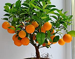 Bee Garden Organic Dwarf Orange Bonsai Suitable Tree Seeds, Grows In Full Sun Or Partial Shade