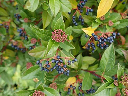 Mittelmeer Schneeball Viburnum tinus 20 Samen