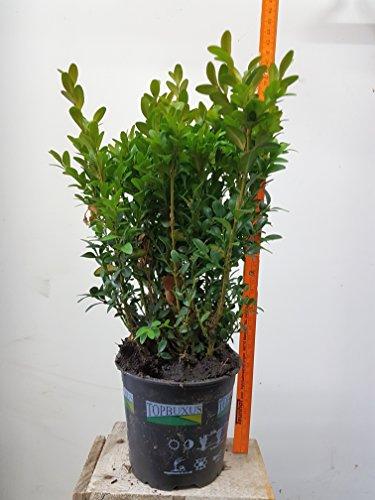 50-articoli-piante-da-siepe-bosso-buxus-sempervirens-alta-15cm-dimensioni-del-piatto-9cm-sempreverdi