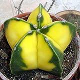 Portal Cool Egrow 10Pcs Yellow Kakteensamen Fleischig Pflanzensamen Mini Sukkulenten Bonsaipflanzen S
