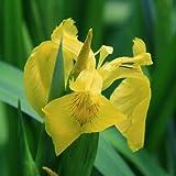 Gelbe Wasserschwertlilie / Iris pseudacorus 9x9 cm Topf - Klärpflanze Gartenteich