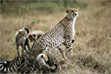 Posterlounge Stampa su Legno 60 x 40 cm: Playing Cheetahs And Their Mother di Roy Toft/National Geographic