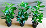 40 Kirschlorbeer, Prunus Novita, Höhe: 40-50 cm ab Topf, ideal als Hecke