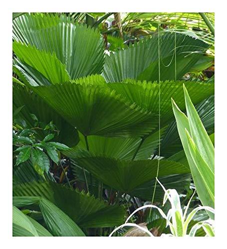 Licuala grandis – Großblättrige Strahlenpalme - 10 Samen