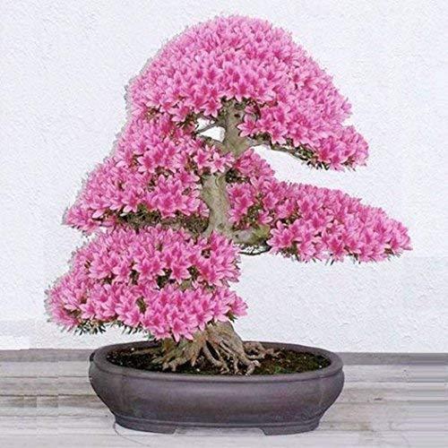 Xianjia Garten - selten 10 Korn Japanische Blütenkirsche Sakura-Samen winterhart Bonsai Samen Kirschblüte Hof Topfpflanze(Reich am Stamm blühender Freiland-Bonsai) (Violett)
