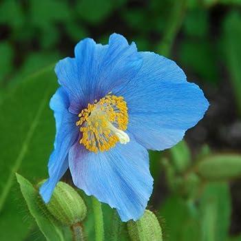 Plant World Seeds - Meconopsis Baileyi Seeds