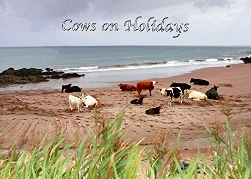 Cows on Holiday. These Happy Cows live on Clogher Beach, Co. Kerry. Humour/Any Occasion/Blank PRICE INCLUDES FREE DELIVERY FROM IRELAND