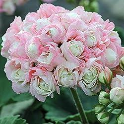 Wekold 10 Samen Geranium Samen Apple Blossom Rosebud Pelargonium Topf Balkon Anlage