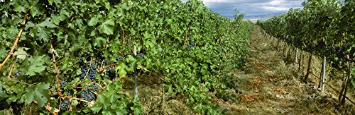 The Poster Corp Charles Blakeslee/Design Pics - Agriculture - Vineyard of Mature Cabernet Sauvignon Wine Grapes Ready for Harvest/Walla Walla County Washington USA. Photo Print (76,20 x 25,40 cm)