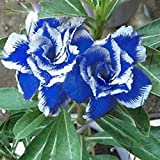 #6: Aiden GardensBlue with White Adenium Obesum Desert Rose Plant Amazing Color Flower 1 Healthy Live Plant Seedling