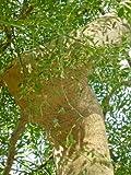 Tropica - Moringa (Moringa oleifera) - 15 semi