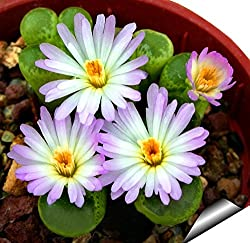 Futaba Celestial Cactus anti-radiation bonsai Seeds - 10 Seeds