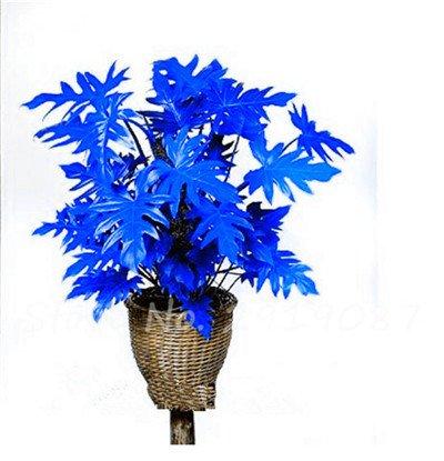 De nouvelles semences 100 Pcs Mixed Philodendron Graines couleur parfaite Plantes d'intérieur Anti radiations Absorber Arbre poussière Graines Jardin Bonsai 16