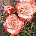 Kordes Rosen Strauchrose, Auf die Freundschaft, weiß mit rotem rand, 12 x 12 x 40 cm, 250-31 von W. Kordes' Söhne auf Du und dein Garten