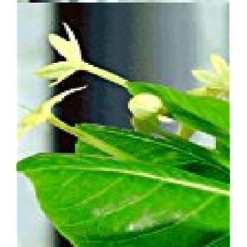 BALDUR-Garten Hawaii-Palme 30-40 cm hoch, 1 Pflanze Brighamia ...