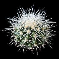 Echinocactus grusonii alba (Barrel Cactus) seeds