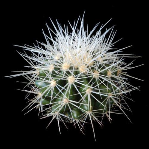Echinocactus grusonii alba (Barrel Cactus) - 20 Samen