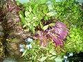 Wasserpflanzen 5 Bund ca 35 Aquariumpflanzen von aquariumpflanzen.de - Wasserpflanzen, Futter, Deko auf Du und dein Garten