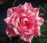 Fash Lady Schöne rosafarbene Gestreifte Rosen-Samen 80 SAMEN - Gute 4 EINZELTEILE