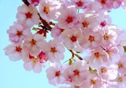 AGROBITS 10 JAPANESE KIRSCHBAUM rosa Wolke Swe Prunus Serrulata Flowes
