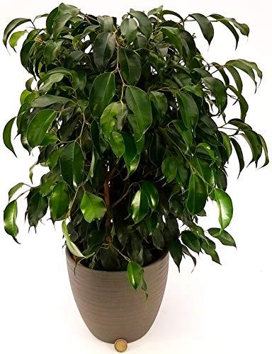 ficus benjamin verde daniel in vaso ceramica, pianta vera