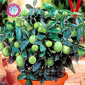 20pcs cibo sano raro albero di limone verde organici semi di frutta semi bonsai verde lime facile da coltivare vaso