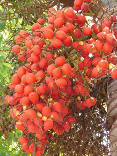 ~ PALM NUTS ~ Wodyetia bifurcata 85 BIG PARROT MACAW BIO frische Samen BEHANDELT