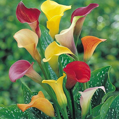 pack-x3-calla-lily-bulbs-mixed-wpc-prins-summer-bulbs-tubers