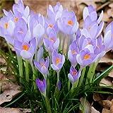 Go Garden Vente chaude de nombreuses variétés bulbes Safran Safran fleur Safran Crocus pour le jardin à la maison: 8...