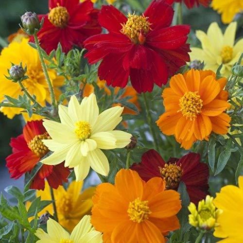 Galleria fotografica Portal Cool Confezione seme di fiore Cosmos sulphureus 'luminosità' misti Semi King'S