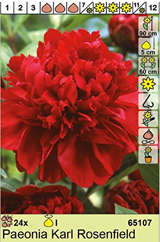 Pfingstrose Rose stark