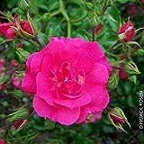 "Kölle's Beste Bodendeckerrose ""Heidetraum"" - karminrosa blühende ADR-Topfrose - frisch aus der Gärtnerei - Pflanzen-Kölle Gartenrose 3 l Topf"