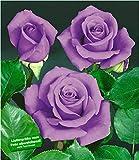 BALDUR-Garten Rose'Blue Saphir', 1 Pflanze Beetrose winterhart