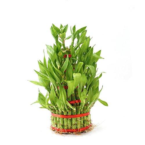 Ugaoo Lucky Bamboo Plant - 5 Layer