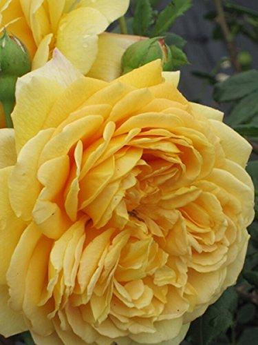 Englische Rose Golden Celebration® syn. Ausgold® - Rosa Golden Celebration® syn. Ausgold® - goldgelb - Duft+++ - Austin-Rose