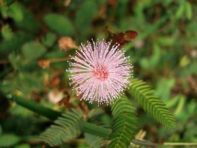 Just Seed Mimose, Mimosa Pudica, Blumen, 200 Samen von Just Seed auf Du und dein Garten
