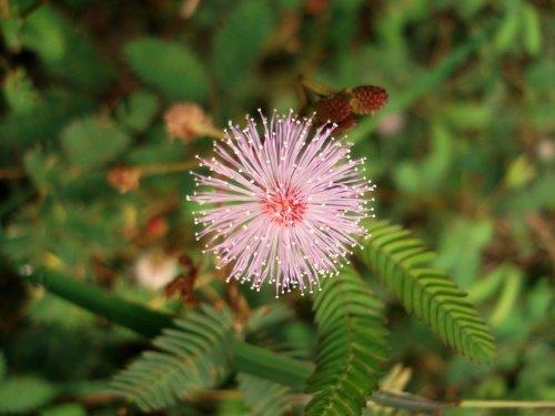 Just Seed Mimose, Mimosa Pudica, Blumen, 200 Samen