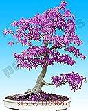 Hemore - Árbol de Arce japonés con Fantasma Azul púrpura