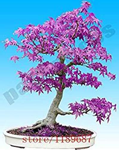 Hemore - Árbol de Arce japonés con Fantasma Azul púrpura, 20 Unidades, (Acer Palatum), Semillas de Flores Bonsai, Semillas de árbol, Planta en Maceta para casa y jardín