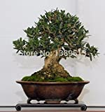 #4: Generic 20/bag Olive Bonsai tree fresh tree seeds for bonsai very beautiful for home decoration
