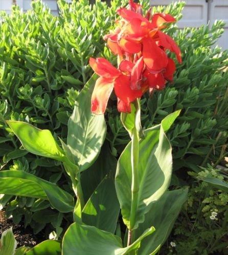 canna-lily-graines-rouge-floraison-tropical-facile-a-cultiver-exotique-blooms-2-graines